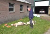 Wolf valt schapen van meerdere schapenhouders aan