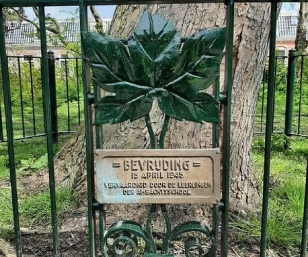 Boom van de maand: Bevrijdingsboom aan de Iepenlaan