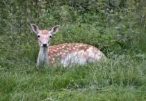 Partij voor de Dieren: afschot damherten Oranjewoud-Katlijk onwettig